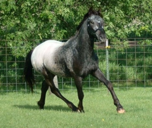 Gorgeous! Friesian/Appaloosa Horse ready for One of a kind colt